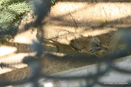Arabský vlk - Canis Lupus arabs