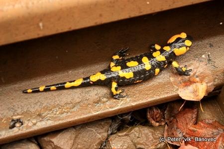 Salamandra škvrnitá - na koľajniciach ich bolo hojne...