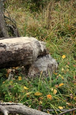 bobrí strom