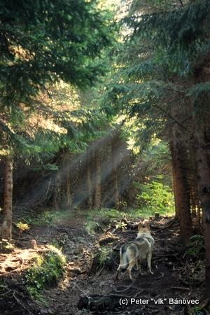 Pes obdivuje lúče presvitajúce cez koruny stromov