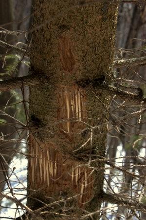 medveďom označený strom